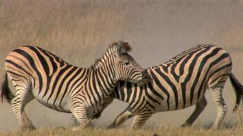 See Why This Zebra Fight Is More Than Just Black and White