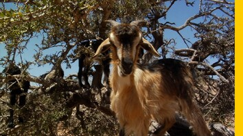 What's Up With These Tree-Climbing Goats in Morocco?