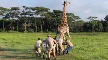 Watch a Harrowing Giraffe Rescue
