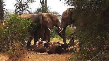 "Rare Footage: Wild Elephants ""Mourn"" Their Dead"