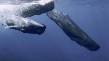 Sperm Whales Have a 'Sound' Way of Escaping Hungry Orcas