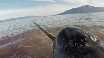 Heart Monitors on Narwhals Reveal Dangers of Human Encounters