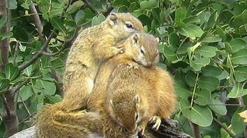 Squirrels Seek Warmth in Winter by Snuggling