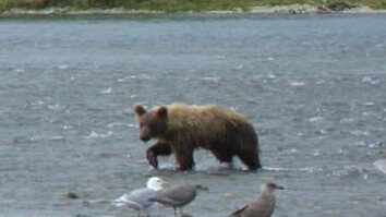 Bear Scenes from Enders Island, McNeil River