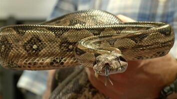How Boa Constrictors Really Kill Prey