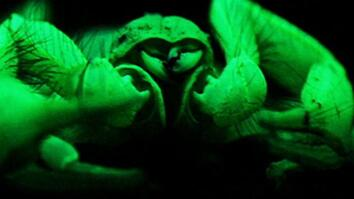"""World's Deadliest: """"Glowing"""" Scorpions Hunt Prey"""