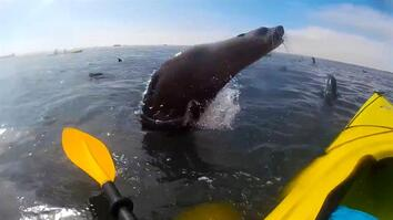 Watch: Cape Seal Collides With Kayaker