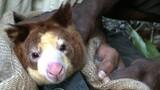 Elusive Tree Kangaroos Get Cameras