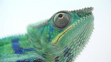 The Illegal and Secretive World of Chameleon Ranching