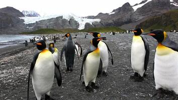 Up Close With King Penguins and Elephant Seals