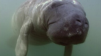 We Put a Camera on a Manatee's Peduncle