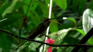 Male Hummingbirds Sing for Sex
