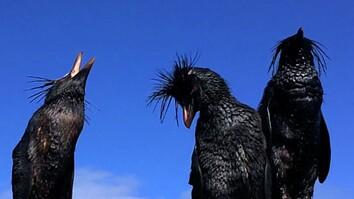 Endangered Penguins Caught in Oil Spill