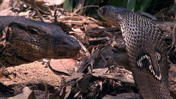 Cobra vs. Monitor Lizard