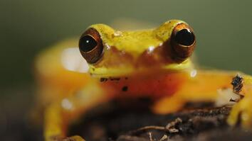 Inside the high-stakes mating season of an hourglass tree frog