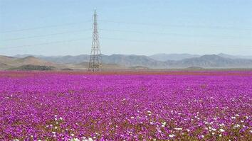 One of Earth's Driest Places Experiences Rare Flower Boom