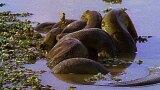 Anaconda Breeding Ball