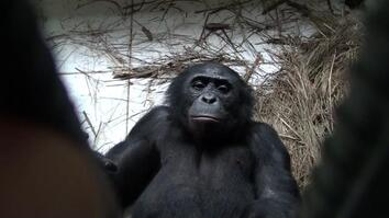 Bonobo Apes Express Empathy, Willingly Help Strangers