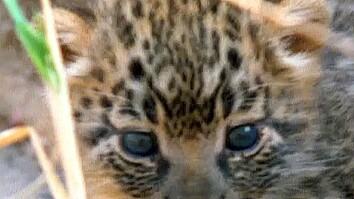Leopard Kittens!