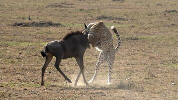 What Does It Take for a Cheetah to Hunt Wildebeest?