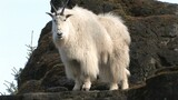 Mountain Goats Aren't Actually Goats