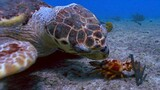 Loggerhead vs. Lobster