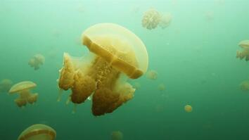 Jellyfish Swarm in These Rare Lakes in Indonesia