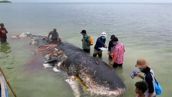 Dead whale found with 13 pounds of plastic in stomach