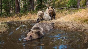 EXCLUSIVE: 'Bear Bathtub' Caught on Camera in Yellowstone