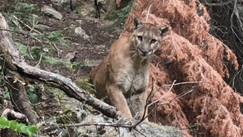 Watch: Cougar Comes Face to Face With Hikers