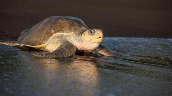 Over 100,000 Sea Turtles Nest at the Same Time. How?