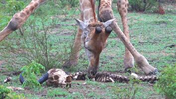 Why Giraffes Snack on Bones
