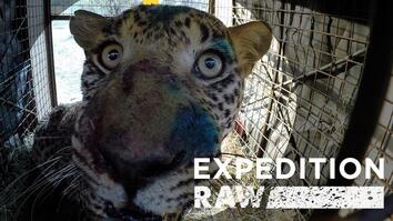Rescuing a Fierce Leopard: See What It Takes