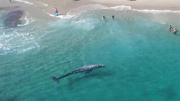 Incredible Aerial Video: Young Gray Whale Swims With Beachgoers