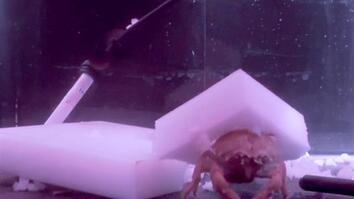 Watch these crabs make 'hats' out of sponges