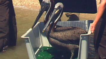 "Relocated Gulf Pelicans ""Enjoying"" Texas"