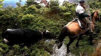 Perilous Ride to Herd Runaway Cattle