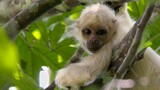 Exclusive: Rare Ghost Monkeys Filmed in Colombia
