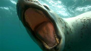 Diver Encounters Deadly, 13-Foot Leopard Seal