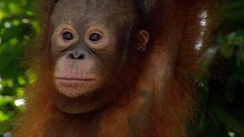 Kalimantan's Orangutans