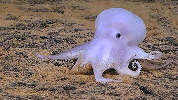 Ghostlike Octopus Found Lurking Deep Below the Sea