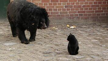 The House Cat and the Bear