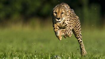 NG Live!: Greg Wilson: Cheetahs on the Run