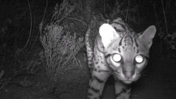 See a Rare Wildcat Spotted in Texas