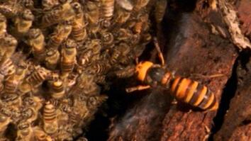 Asian giant hornet is no match for Japanese honeybees