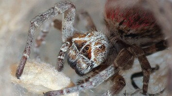 These Spiders Eat Their Mothers' Dead Bodies