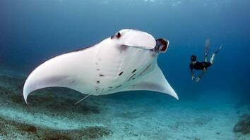 NG Live!: Andrea Marshall: Queen of the Manta Rays