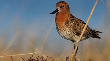 Rare Video of Endangered Shorebird