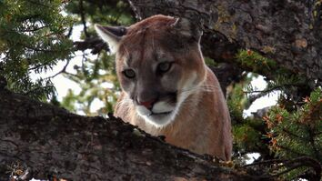 Stalking the Mountain Lion