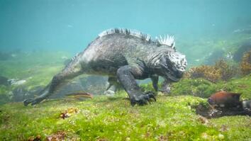 Swim Alongside a Galápagos Marine Iguana